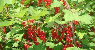 Виды смороины - красная смородина