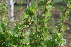 Польза листьев красной смородины