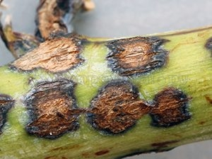 антракноз смородины на стебле