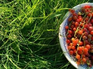Действие красной смородины на организм