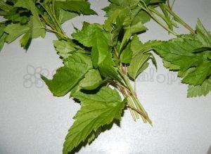 Молодые листья смородины для чая
