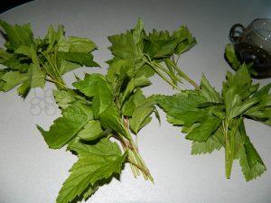 Заготовка листьев смородины