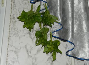 Сушка смородиновых листьев