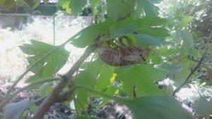 насекомые на смородине