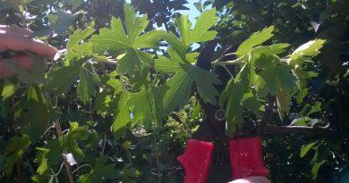 Прищипывание смородины летом