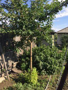 Соседство смородины и яблони